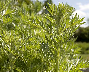 Wermut - Absinthii herba