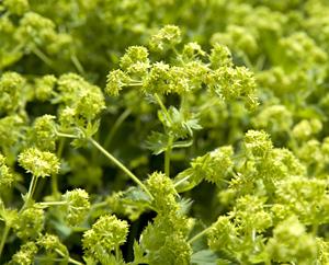 Blühender Frauenmantel - Alchimillae herba