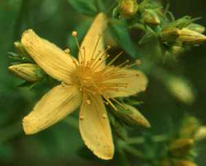 Johanniskraut - Hypericum perforatum