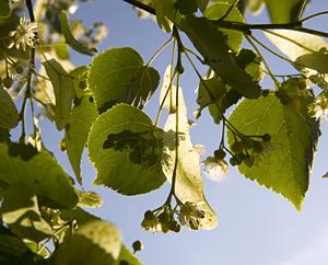 Lindenblüten - Tiliae flos
