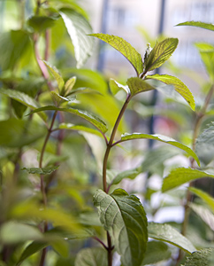 Pfefferminz-Pflanze auf dem Balkon