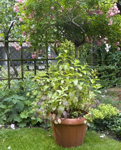 Pfefferminze im Garten