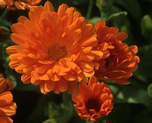 Ringelblume - Calendula officinalis