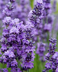 Lavendelblüten - Lavandulae flos