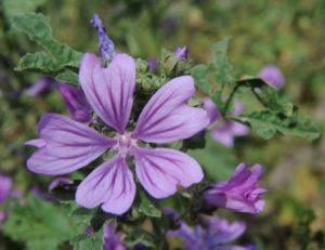 Malvenblüten - Malvae flos