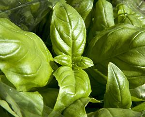 Basilikum - Ocimum Basilicum L.