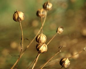 Leinsamen - Lini semen