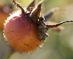 Hagebuttenfrüchte - Rosae fructus