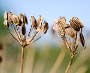Kuemmelsamen - Carvum carvi