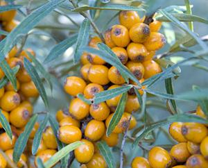 Sanddorn-Früchte - Hippophae rhamoides fructus
