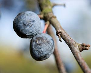 Schlehenfrüchte (Pruni Spinosae Fructus)