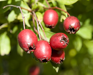 Weissdorn-Früchte - Crataegi fructus