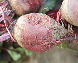 Rote Beete - Beta vulgaris subsp.