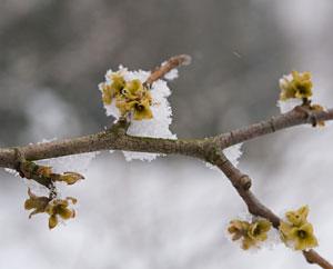 Hamamelisblüten im Schnee - Hamamelis viginiana