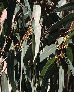 Eukalyptusblätter - Eukalypti folium