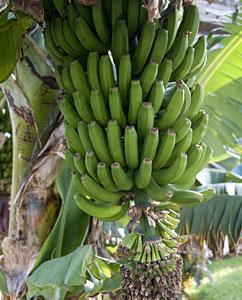 Unreife Bananen (Musa)