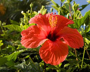 Hibiskusbluete - Hibiscus sabdariffa L.