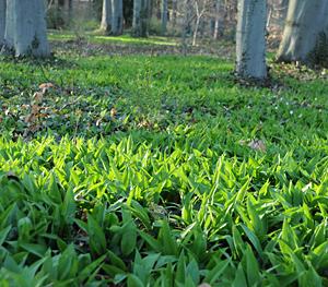 Bärlauch (Allium ursinum L.) im Buchenwald