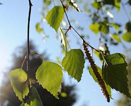 Frische Birkenblätter (Betula pendula)