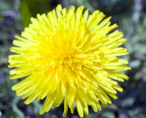 Löwenzahnblüte (Taraxacum)