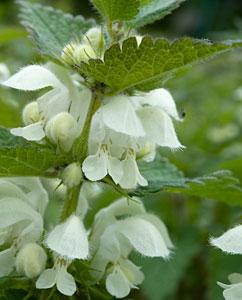 Taubnesselblüten - Lamii albi flos