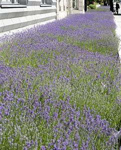 Lavendelfeld an der Gemäldegalerin, Berlin Mitte