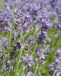 Lavendelblüten, aromatisch duftend