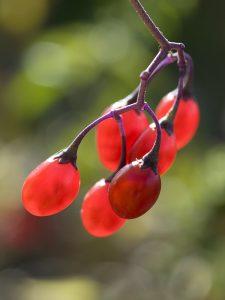 Beeren des Bittersüßen Nachtschattens (Solanum Dulcamara)