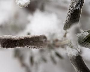 Salbeiblätter im Schnee