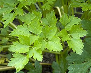 Petersilie (Petroselinum crispum)
