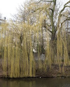 Weidenbaum im Frühling
