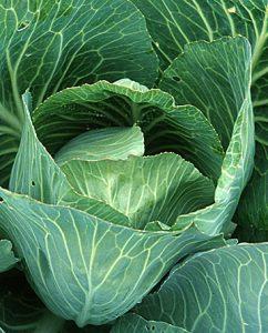 Weisskohl (Brassica oleracea)