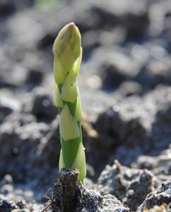Spargel (Asparagus officinalis)