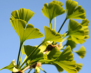 Junge Ginkgo-Blätter (Ginkgo-biloba)