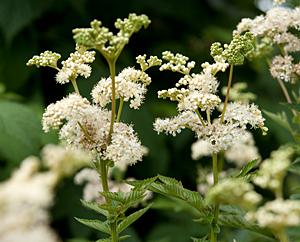 Madesüßblüten (Spiraeae ulmariae flos)