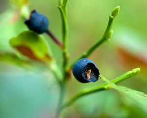 Heidelbeeren (Myrtilli fructus)