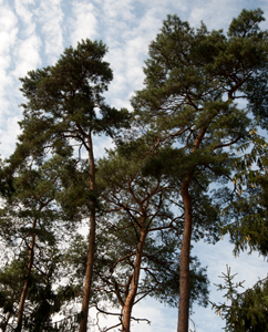 Kiefern (Pinus sylvestris)