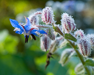 Borretsch (Borago officinialis)