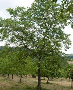 Walnussbäume (Juglans Regia)