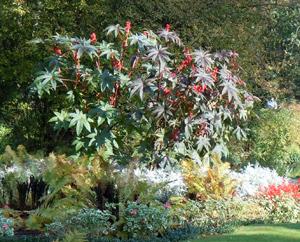 Wunderbaum (Ricinus communis)