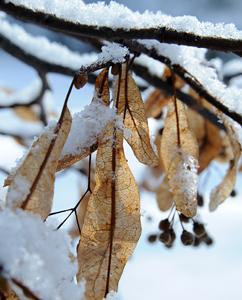 Lindenblätter im Winter