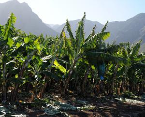 Bananenplantage in Buenavista