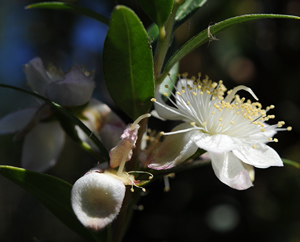 Myrrhe-Blüte