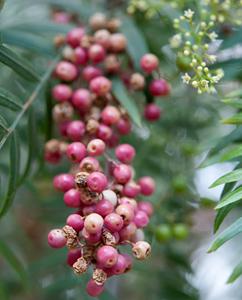 Schinus molle: Falscher Pfeffer - Früchte