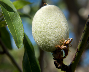 Mandel: Samtig behaarte Steinfrucht