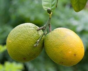 Unreife Orangen am Orangenbaum