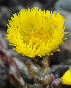Huflattichblüte (Tussilago Farfara)