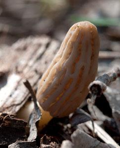Morchel unter Laub versteckt, aber trotzdem gefunden