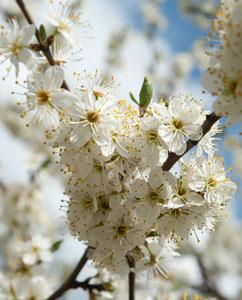 Schlehenblüte (Prunus spinosus)