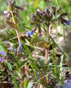 Lungenkraut (Pulmonaria officinalis)